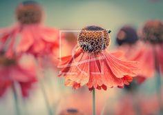 Bild-ID.: 11928531 Sommertanz - Die schöne Sonnenbraut