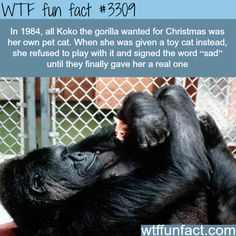 Awesome facts about Koko the gorilla -  WTF fun facts