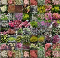 plantes pour toit végétalisée : les sébums (plantes succulentes)