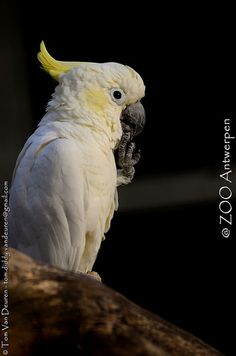 kleine geelkuifkaketoe - Cacatua sulphurea - Lesser Sulphur-crested Cockatoo | by MrTDiddy