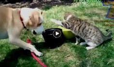 Funny Dog & Cat Video | Cats annoying dogs  --  Hey who says that cats and dogs don't get along much? They get along, but often disagree what the best way to get along is. Here's a hilarious compilation showing how cats and kittens play with and mostly annoy dogs. While trying to get along?