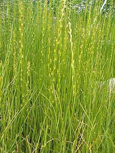 Triglochium palustris BotGartBln310505.JPG