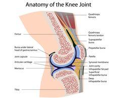 anatomy of the human knee | Anatomy of the Knee | Knee Injury