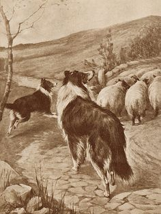 BORDER COLLIE DOGS AND SHEEP