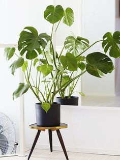 La Monstera Deliciosa (ou faux philodendron) était, avec le yucca, la plante d'intérieur chérie des années 70. Elle fait son grand retour, portée par la luxuriante tendance « Jungle Urbaine «, si chère aux revues de décoration et aux appartements à la mode. Est-elle la nouvelle Succulente ?