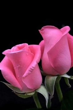 Love Rose, Happy Birthday Wishes, Beautiful Roses, Pink Roses, Rose Flowers, Nature, Plants, Super Star, Kareena Kapoor
