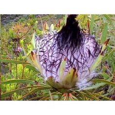 Graines Protea Longifolia (Protea aux Longues Feuilles)