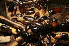 Home Remedy to Kill Cockroaches