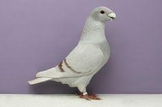 Des pigeons de compétition