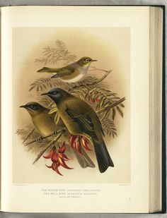 NZ Silver-Eye & Bell Bird pair by JG Keulemans (from Walter Buller's 'A History of The Birds of New Zealand' - 1870's)