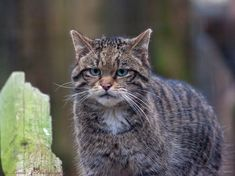 The Scottish wildcat, Britain's last large mammal predator, is dangerously close to extinction. Thank a generous donor for funding this majestic creature's conservation plan. Beautiful Creatures, Animals Beautiful, Rusty Spotted Cat, Black Footed Cat, Sand Cat, Rare Cats, Leopard Cat, Rare Animals, Wildlife Conservation