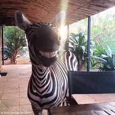 Greetings from #Ngulia!  This orphaned zebra is quite the social butterfly. She's been hand-raised at our #DSWT Voi Reintegration Unit, and like the orphaned elephants growing up alongside her, is learning all the skills she needs to one day make the transition to a wild life.