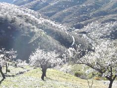 """almond blossom near Albondon ***photo by Robert Bovington***  """"It's like going to heaven,"""" my wife commented, on our first drive into the Alpujarras. We had left Roquetas on one of the few grey days. It was in February and there was a lot of low cloud. We had only travelled a few miles up into the mountains, but it was a different world. Above the clouds, there was a bright blue sky and beautiful white and pink blossom of the almond trees."""