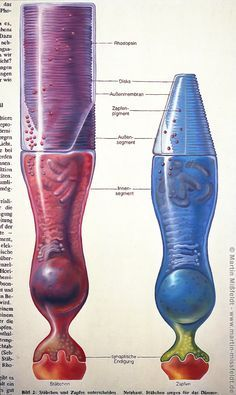 Retina: rods and cone - by Martin Missfeldt Eye Anatomy, Muscle Anatomy, Human Anatomy, Medical Coding, Medical Science, Life Science, Science And Nature, Eye Facts, Medical Anatomy