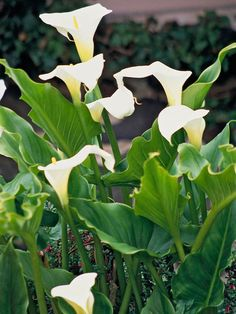 Another favorite cut flower, calla is a tender plant with elegant, vase-shaped flowers. White is the classic color, but you can also find callas in shades of yellow, orange, pink, and purple. http://www.bhg.com/gardening/design/color/white-flower-garden-ideas/?socsrc=bhgpin031315&page=6