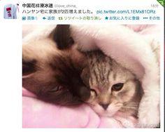 HAN-YAN(chinese skater)'s cats.