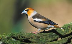Hawfinch in Holland - photo by Dave Kjaer
