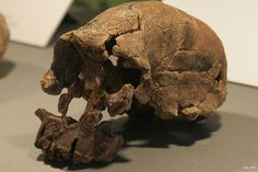 Homo Florensis is an H. erectus like form which lived from approximately 100,000 to 12,000 before present, has been nicknamed hobbit for its small size, which would seme to be the result of island dwarfism (a similar thing happened to Pleistocene elephants and Cretaceous dinosaurs).The main find was a skeleton believed to be a woman of about 30 years of age. Found in 2003 it has been dated to approximately 18,000 years old, and was only about a meter in height.