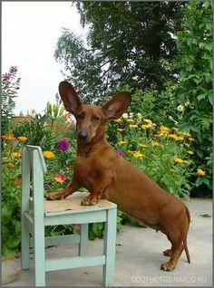I believe I can fly! #dachshund  #doxie