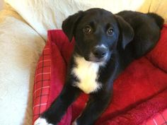 Meet Carrie, a Petfinder adoptable Labrador Retriever Dog | Greensboro, GA | Carrie and her sisters Laura and Prairie are beautiful lab mixes, possibly border collie to account...