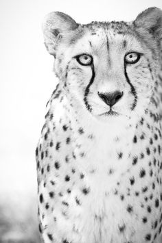 Hey, I found this really awesome Etsy listing at https://www.etsy.com/listing/105954616/cheetah-art-photograph-black-and-white