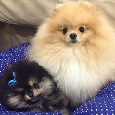 Prince and Princess!!!💞🐾👑 #puppy #spitzalemaoanao #pomeranian #pom #pome #cutedog #sweetdog #ilovemypom #luludapomerania #canilhightime #pompom #spitzalemao #boo #trimming #teddy #fluffy #doglovers #gratidão #lovely #liondog #ursinhos #boladepelo #primogenito #purocharme #paixaodavida #instalove #principede4patas #myangel #bebedamamae #2quilosdepuragostosura