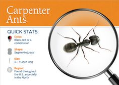 Carpenter ants get their name because they excavate wood in order to build their nests.