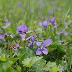 Wild Violets, lovely scent and flavor...