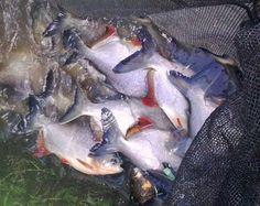 Cara Budidaya Ikan Bawal, Pembesaran Ikan Bawal