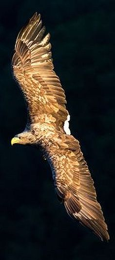 White-tailed Eagle #via: 500px.com -- Solberg Pedersen