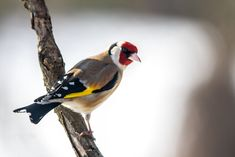 goldfinch by Roland Deme on 500px