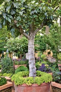Growing Fruit in Pots from Organic Gardening Magazine. I would love to have a fig tree in a pot.