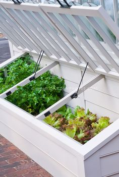 Cold frame with lettuce and parsley Petroselinum seedlings to be planted out