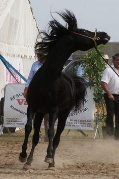 Arabian Horse Stock VIII by lovergil via Deviantart.com