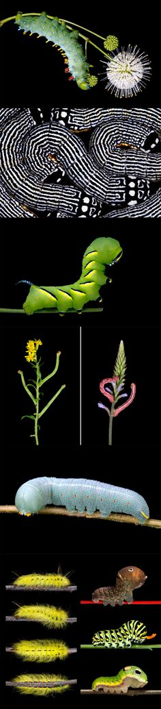 The Stunning Diversity and Detail of Vibrantly Colored New England Caterpillars…