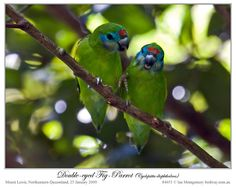 Ian's Bird of the Week – Double-eyed Fig-Parrot | Lee's ...