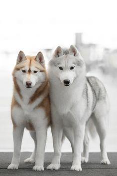 husky siberiano rojo y gris husky siberiano ! Husky Breeds, Cute Dogs Breeds, Dog Breeds, Cute Husky Puppies, Husky Puppy, Alaska, Siberian Husky Dog, Shiba Inu, Akita