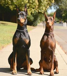 Animated anthro balls canine doberman dog duo-24613