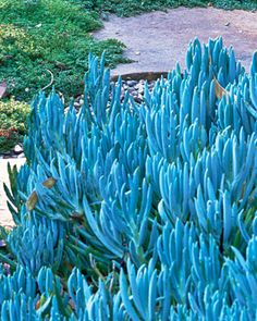 Senecio mandraliscae (kleinia)  Native to South Africa; Zones 8 to 12; height 1 to 2 feet; full sun [part shade or northern exposure in the hot desert]. A member of the daisy family, this easy-to-grow succulent is popular because of its intense blue foliage