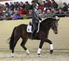 Saxony-Thuringian Heavy Warmblood stallion Elbgraf