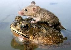 How does this happen?  Seriously.  In real life, how does a mouse hop onto a frog?
