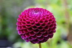 dalia pomponowa, dahlia 'Downham Royal' w kolorze marsala