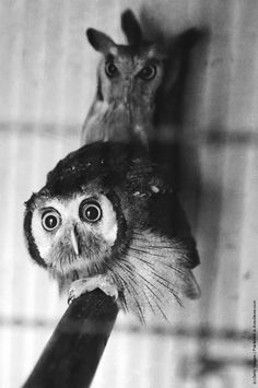A pair of owls at a zoo, 1st August 1953. (Photo by Thurston Hopkins/Picture Post/Hulton Archive/Getty Images)