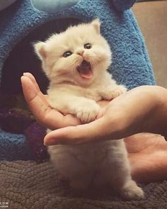 cute kitten………SO, YOUR MY NEW OWNER….WE GOT SOME SERIUS PROBLEMS TO WORK OUT HERE - LIKE --- WHEN'S LUNCH(??)……….ccp