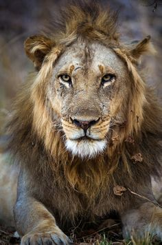 Zambia safari highlights include the Busanga Plains in the northern part of Kafue National Park, and the Luangwa Valley, home of the walking safari Tanzania, Kenya, Lion Pictures, African Safari, Wildlife Photography, Nature Photos, Animals Beautiful, Lions, Big 5