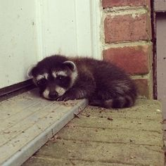 Baby raccoon on We Heart It. Baby Raccoon, Cute Raccoon, Racoon, Cute Baby Animals, Animals And Pets, Funny Animals, Funny Cats, Beautiful Creatures, Animals Beautiful