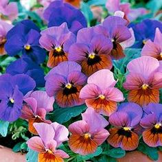 Flower Viola Velour Mixed 50 Seeds