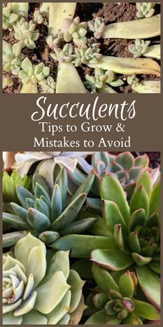 Indoor Gardening Learn several succulent tips as well as a few mistakes to avoid when experimenting with growing succulents. - Learn several succulent tips as well as a few mistakes to avoid when experimenting with growing succulents. How To Water Succulents, Growing Succulents, Succulents In Containers, Water Plants, Cacti And Succulents, Growing Plants, Planting Succulents, Container Flowers, Container Plants