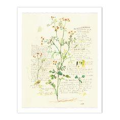 Cilantro - Plants and medicinal herb series #1