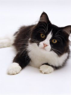 Domestic Cat, 6-Month, Black-And-White Semi-Longhaired Female Cat ... #tuxedocatbreeds - See more Tuxedo Cats Facts at Catsincare.com